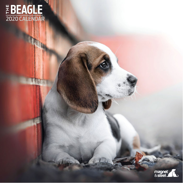 Calendario Beagle Traditional